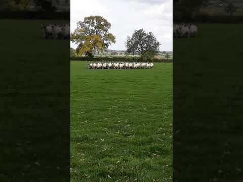 Skipton Dogs Sale AW Kirkham Gem