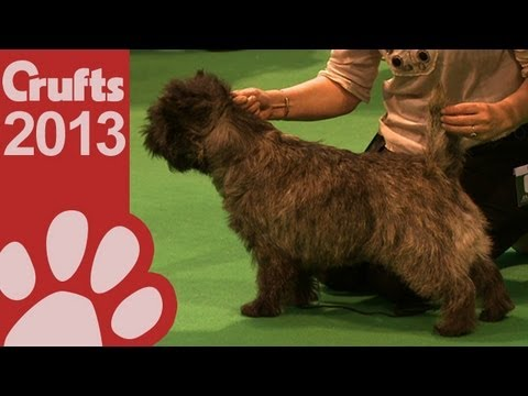 Cairn Terrier  Best of Breed  Crufts 2013