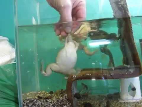 Шпорцевая аквариумная лягушка.