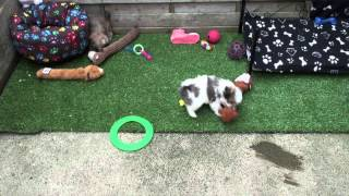 Little Rascals Uk Breeders New Litter Of Shih Tzu Puppies - Puppies For Sale 2015