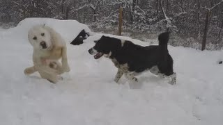 Central asian shepherd (alabai ) dogs in action.