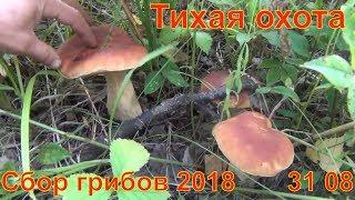 Тихая охота Грибы и лекарственные травы Белый гриб рыжики  лисички волнушки Сбор грибов 2018 31 08