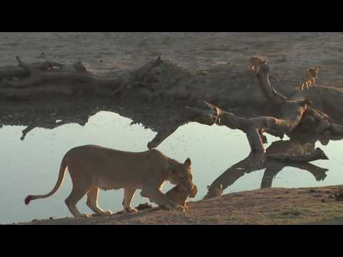 Lioness picks up naughty cub by the scruff