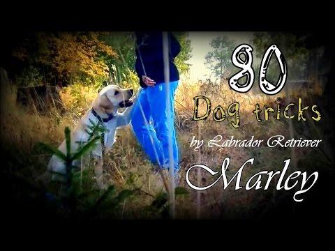 Marley the Lab (20 months) | {80 Dog Tricks} ♡