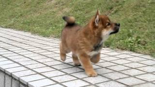柴犬専門ブリーダー・犬舎の子犬販売 柴犬.net ID:1108 http://www.shib...