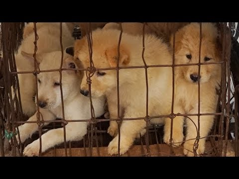 Yulin Dog Meat Festival CONTINUES!!! | China Uncensored