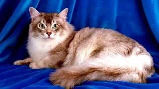 Порода кошек. Шантальи Тиффани. Удивительная история появление кошки.