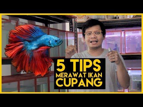 Cara Memelihara Ikan Cupang Dalam Aquarium Bisabo Channel
