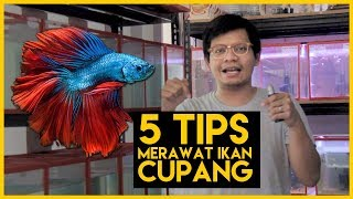 5 TIPS : Memelihara Ikan Cupang