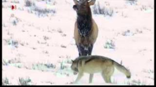 Wolf pack (Yellowstone Druid pack) vs Elk (Waipiti)