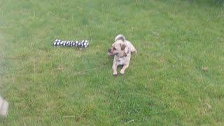 Jug Dog Bridie Terrorising Bichon Pepper With Jake & Max.