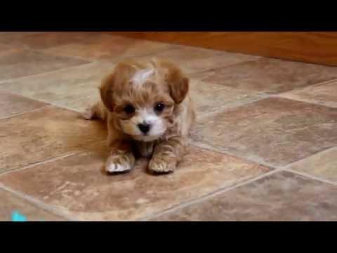 Teacup maltipoo puppies for sale uk