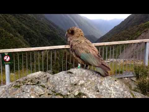 A cheeky Kea Alpine Parrot, Arthur's Pass, South Island New Zealand in HD