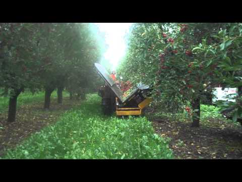 Tart Cherry Harvest - Cherry Shaking at King Orchards