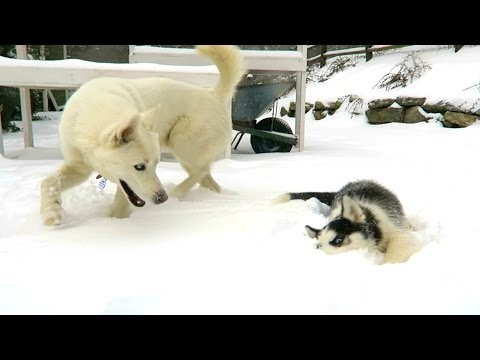 Husky Puppy's First Time In Snow