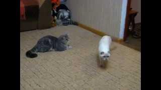 Шотландский кот Зевс и его кошка отдыхают после вязки