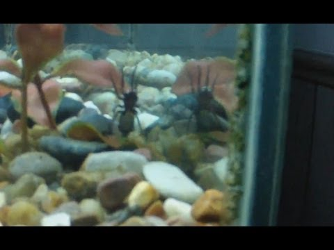 EBJD eats live spider in fish tank