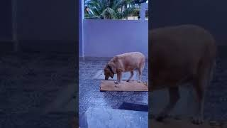 Kennel cough symptoms in a labrador dog