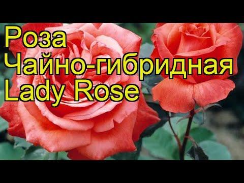 Роза чайно-гибридная Леди Роз. Краткий обзор, описание характеристик, где купить саженцы Lady Rose