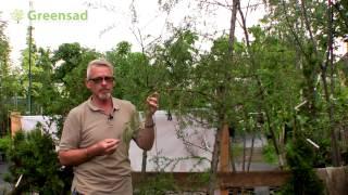 видео 22 вида декоративных деревьев и кустарников для сада с названиями