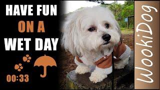 Cute dog has fun on a wet day  WookiDog [Maltese Shih Tzu mix] #Shorts