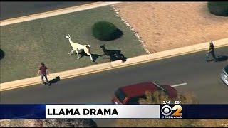 llamas run rampant in sun city arizona