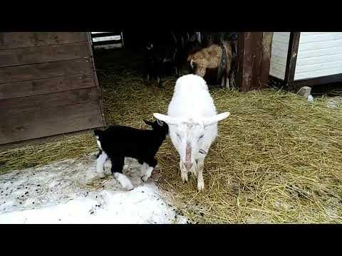 Естественные роды коз. Окот. Окоз ;)