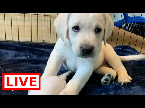 LIVE STREAM Puppy Cam! Adorable Labrador Puppies at Play