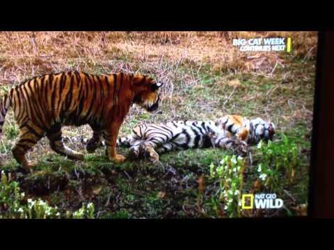 Tiger creep bitch slap thumbnail