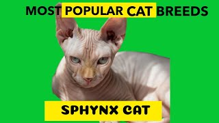 Sphynx Cat Most Popular Cat Breed