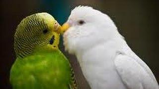 Konuşan muhabbet kuşu - pet shop - evcil hayvanlar