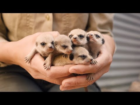 Joey Brooks - Meet the Adorable Baby Meerkats