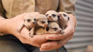 秋のある日にぴょこたんと。オーストラリアの動物園でミーアキャットの赤ちゃんが生まれたよ。