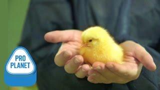 Wie können wir für mehr Tierwohl in der Legehennenhaltung sorgen? D...