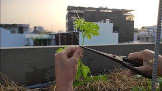 Cắt ngọn Khổ Qua ở lá thứ Tư , cắt sau cho đúng , nhánh đạt chất lượng trái nhiều | Khoa Hien 404