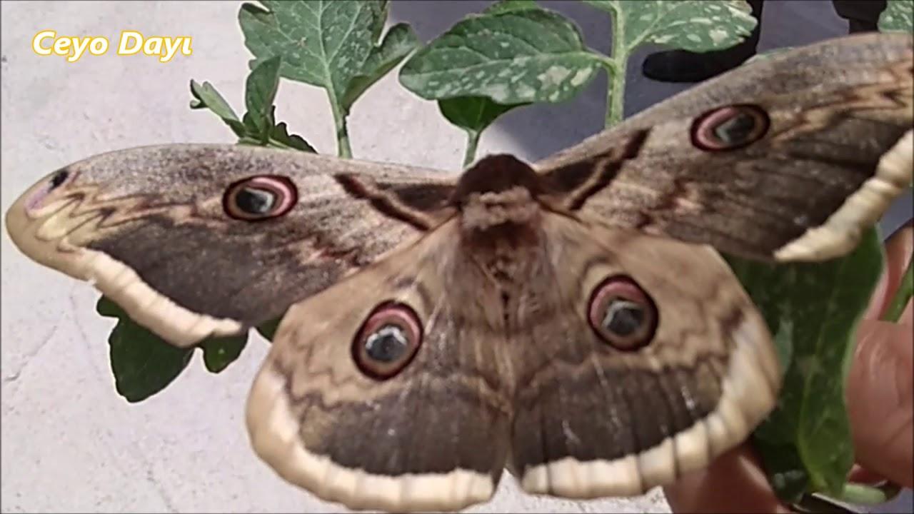 En Büyük Kelebek ve En Güzel Kelebek Tavus Kelebeği  l Hayvanlar Alemi l Belgeseli