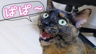 パパが部屋に来るとアピールしまくるサビ猫モモちゃん