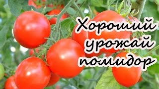 Хороший урожай помидор(Ранее мы в своем видео рассказывали как и когда правильно посеять помидор, а затем высадить томаты в теплиц..., 2016-07-16T18:38:49.000Z)
