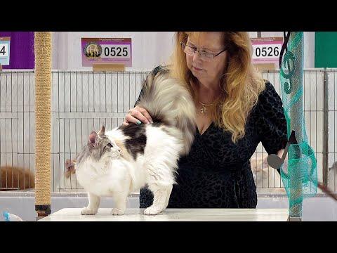 CFA International Show 2019  Maine Coon Kitten Class Judging