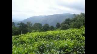 Tea Garden of Ooty