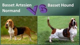 Basset Artesien Normand VS Basset Hound  Breed Comparison  Differences