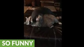 Cat and raccoon wrestling match ends in wipe out