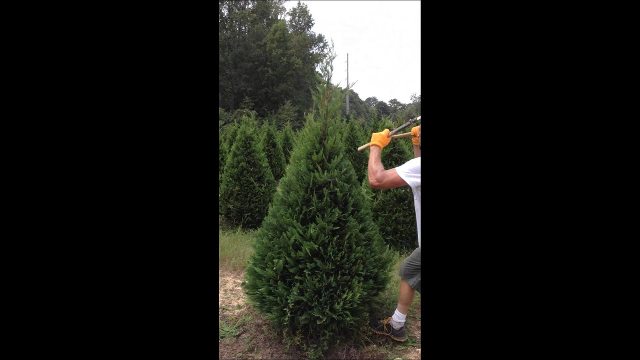 christmas tree trimming two hand - How To Trim A Christmas Tree