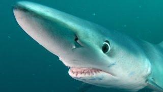 Blue Shark Adventure   Jonathan Bird's Blue World