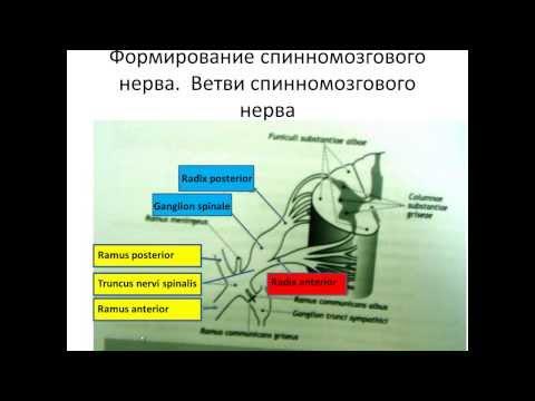 Формирование спинномозгового нерва и шейное сплетение