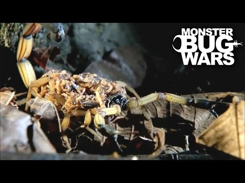 Black Tailed Scorpion Baby vs Pirate Spider | MONSTER BUG WARS