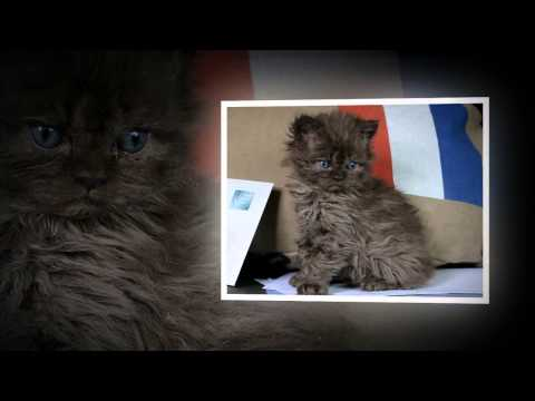 Fair and Square - Our Selkirk Rex (show- and breeding) cats