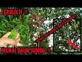 Pikat Burung Murai Daun Pikat Sumatera  Mp3 - Mp4 Download