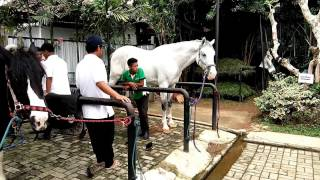 Seeing Pony Horse, Giant Horse, Bath Horse, White Horse In Stable