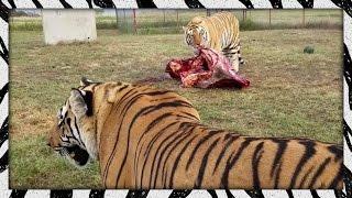 Feeding the lads | TIGER/LION FEEDING